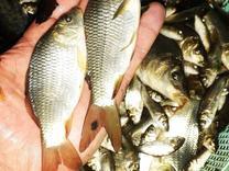 نمایندگی وفروش مستقیم بچه ماهی از مزرعه در شیپور