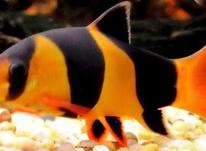 ماهی لوچ دلقک در شیپور-عکس کوچک