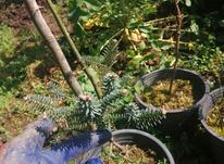 گل و گیاه(ابیس کریستال پیوندی) در شیپور-عکس کوچک