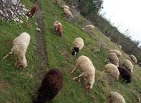 گوسفند بابره ابستن بره نرسلک  در شیپور-عکس کوچک