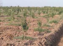 5 هکتار باغ گلابی در جاده ی فرح آباد ساری  در شیپور-عکس کوچک