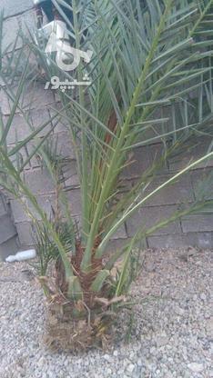 فروش نخل بزرگ وکوچک در گروه خرید و فروش خدمات و کسب و کار در فارس در شیپور-عکس1
