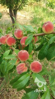 فروش باغ درمیانه در گروه خرید و فروش املاک در آذربایجان شرقی در شیپور-عکس5