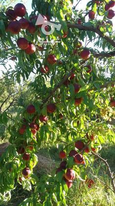 فروش باغ درمیانه در گروه خرید و فروش املاک در آذربایجان شرقی در شیپور-عکس7