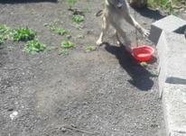 سگ نگهبان نر واکسن خورده  در شیپور-عکس کوچک