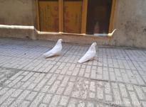 کبوتر نر و ماده در شیپور-عکس کوچک