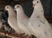 کبوتر پرشی تضمینی در شیپور-عکس کوچک