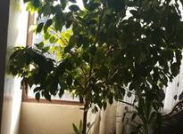 درخت بنجامین آپارتمانی در شیپور-عکس کوچک