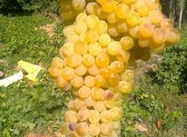 .باغ انگور ومیوه از باغ های شناط در شیپور-عکس کوچک
