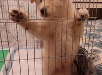 سگ آکیتا ژاپنی در شیپور-عکس کوچک