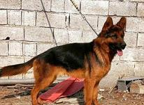 سگ ژرمن شپرد شولاین در شیپور-عکس کوچک
