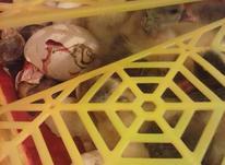 جوجه کشی تبدیل تخم نطفه دا به جوجه در شیپور-عکس کوچک