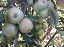 3000متر باغ انگور واقع در خرمدره در شیپور-عکس کوچک