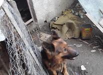 سگ نژاد دار ژرمن شپرد خوشگل و باهوش در شیپور-عکس کوچک