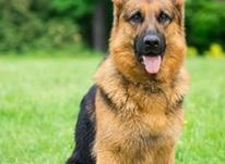 سگ ژرمن شپرد-خریدوفروش سگ ژرمن شفرد در شیپور-عکس کوچک