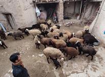 گوسفند رسمی همراه با بره در شیپور-عکس کوچک
