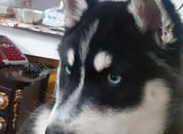 توله سگ هاسکی سیبرین  در شیپور-عکس کوچک