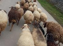 فروش گوسفند ابستن. بره. نرسلک همه داشتی  در شیپور-عکس کوچک