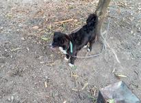 سگ پاکوتاه آس در شیپور-عکس کوچک
