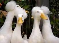 تخم اردک کاکلی سفید نطفه دار در شیپور-عکس کوچک