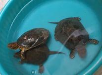 3 عدد لاکپشت دوزیست  در شیپور-عکس کوچک