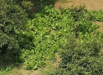 کاهو.... محلی ارگانیک در شیپور-عکس کوچک