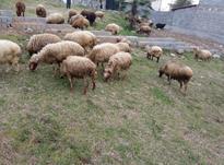فروش گوسفند ابستن نرسلک بره  در شیپور-عکس کوچک