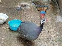 مرغ شاخدار سالم و واکسن خورده و درشت در شیپور-عکس کوچک