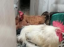 مرغ گردن لخت محلی تخم گذار فروشی واکسن خورده سالم در شیپور-عکس کوچک