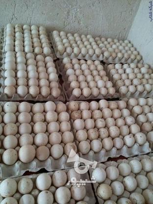 فروش تخم نطفه دار محلی در گروه خرید و فروش ورزش فرهنگ فراغت در مرکزی در شیپور-عکس2