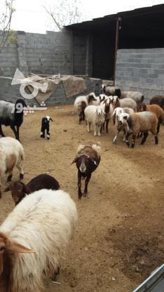 تعداد 15راس گوسفند داشتی در گروه خرید و فروش ورزش فرهنگ فراغت در گلستان در شیپور-عکس1