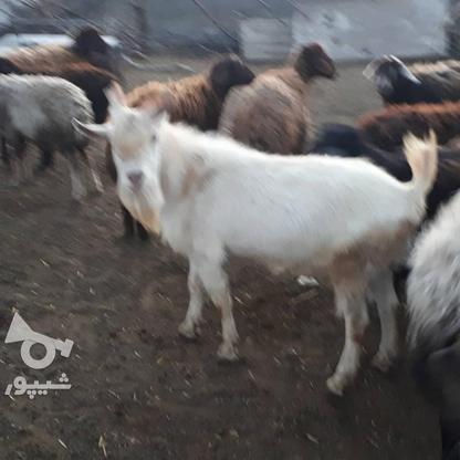 بز سانن اصل در گروه خرید و فروش ورزش فرهنگ فراغت در آذربایجان غربی در شیپور-عکس2
