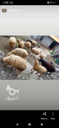 نرسلک ماده ابستن بره ماده سلک  در گروه خرید و فروش ورزش فرهنگ فراغت در مازندران در شیپور-عکس3