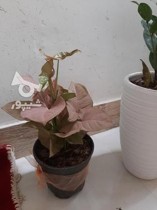گلهای اپارتمانی در گروه خرید و فروش لوازم خانگی در تهران در شیپور-عکس3