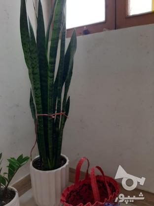 گلهای اپارتمانی در گروه خرید و فروش لوازم خانگی در تهران در شیپور-عکس1