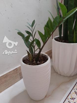 گلهای اپارتمانی در گروه خرید و فروش لوازم خانگی در تهران در شیپور-عکس2