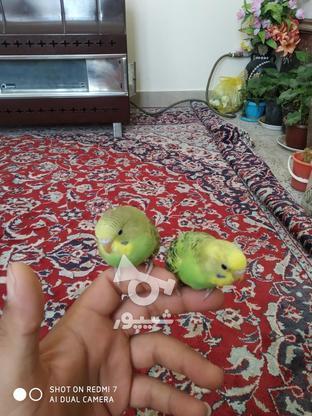 مرغ عشق دوماهه در گروه خرید و فروش ورزش فرهنگ فراغت در همدان در شیپور-عکس2