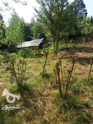 3500 متر باغ زمیدان در گروه خرید و فروش املاک در گیلان در شیپور-عکس2