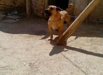 دوعدد سگ پاکوتاه تربیت دیده در شیپور-عکس کوچک