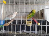 یه جفت مرغ عشق بالغ در شیپور-عکس کوچک