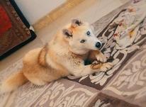سگ هاسکی گُلد در شیپور-عکس کوچک