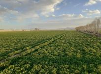 زمین کشاورزی در شیپور-عکس کوچک