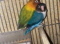 فروش جفت های مولد طوطی برزیلی با تست مولد به شرط در شیپور-عکس کوچک