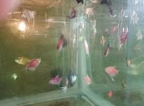 ماهی زینتی آکواریوم و تنگ در شیپور-عکس کوچک