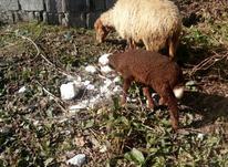 گوسفند وره مار در شیپور-عکس کوچک