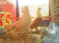 کبوتر تزئینی پرشی در شیپور-عکس کوچک