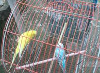 یک جفت مرغ عشق مست مست تخم گذار باقفس  در شیپور-عکس کوچک