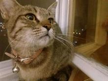گربه ماده قلاده دار پیدا شده در شیپور