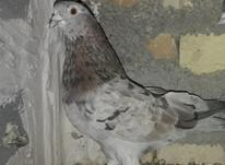 کبوتر ماده کاشونی در شیپور-عکس کوچک