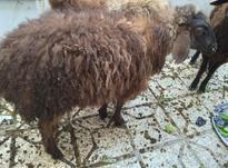 گوسفند(بره 7 ماهه) در شیپور-عکس کوچک